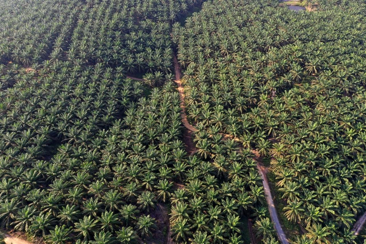Lahan perkebunan sawit di Pangkalan Bun, Kalimantan Tengah.