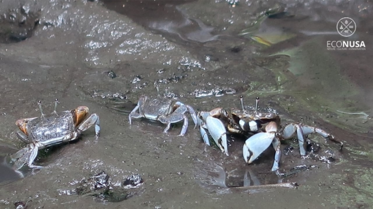 Bayi-bayi kepiting di ekosistem mangrove Sorong Selatan