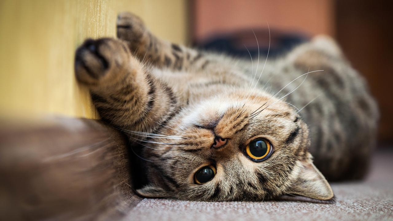 CVR- Kumplus- dr. Anggie - Memahami Bahasa Kucing