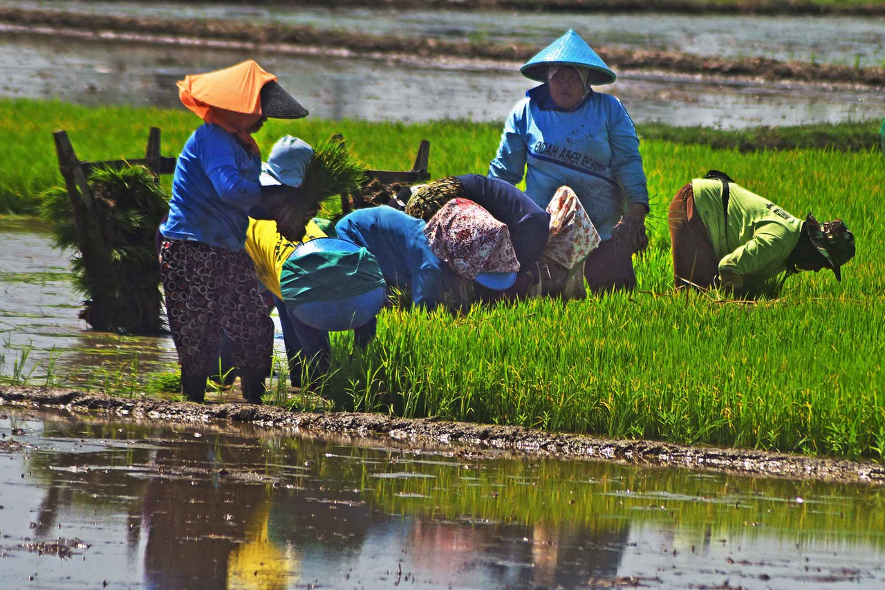 Petani beras