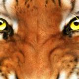 63 Gambar Muka Harimau Garang Paling Keren