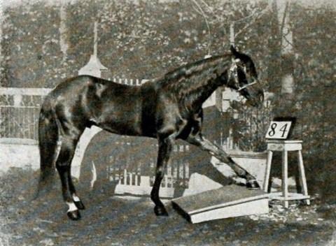 Rahasia Kepintaran Hans, Kuda yang Bisa Membaca dan Berhitung - kumparan.com