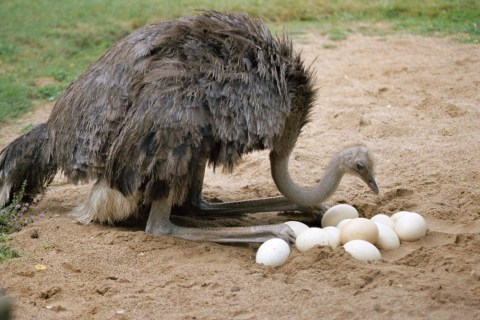 Burung Unta Memasukkan Kepala Ke Tanah
