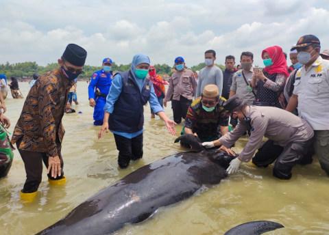 49 Ikan Paus Tombak Mati di Bangkalan, Khofifah Minta FKH Unair Cari Sebabnya