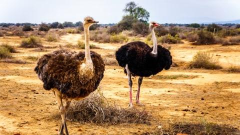 Evolusi Bikin Burung Unta Dan Kasuari Tak Bisa Terbang Kumparan Com