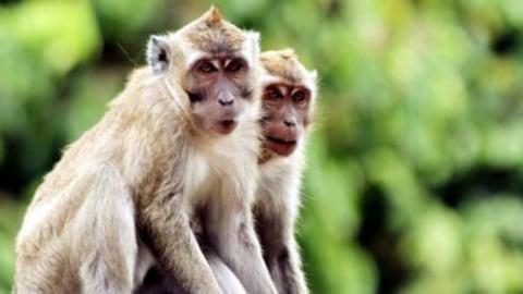 Gambar Monyet Bawa Pisang Cerita Kera Pesugihan Yang Memakan Tumbal Kumparan Com