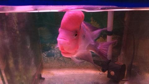 Mengapa Bisnis Penjualan Ikan Louhan Bisa Hancur Lebur Di 2005 Kumparan Com