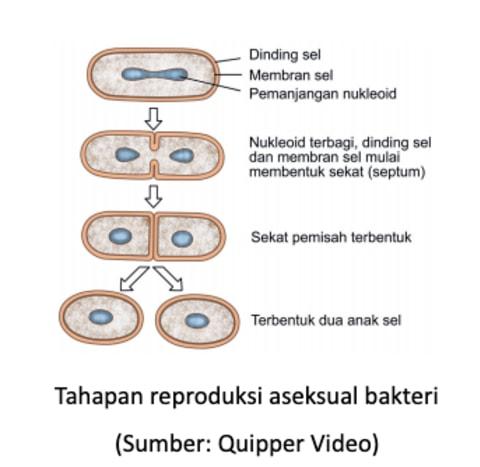 pembelahan biner merupakan cara reproduksi bakteri secara