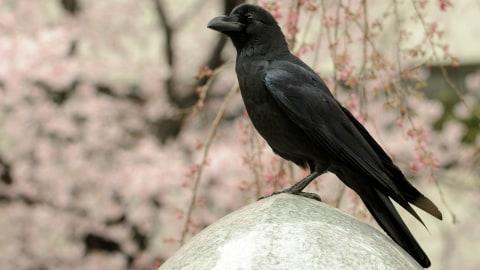 Gagak Burung Terpintar Yang Malah Dianggap Simbol Malapetaka Kumparan Com