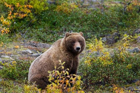 Diserang Beruang Alaska Selama Seminggu, Pria Ini Berhasil Selamat