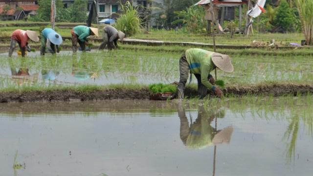 Ilustrasi petani menanam padi