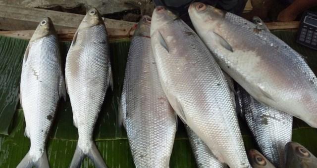 7 Manfaat Ikan Bandeng untuk MPASI Bayi (93990)