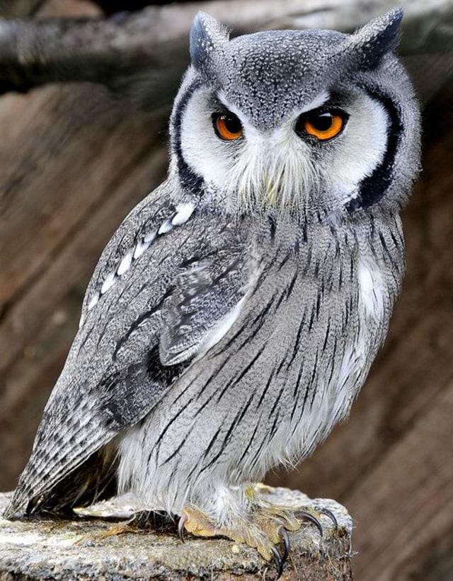66 Gambar Burung Hantu Warna Terbaik