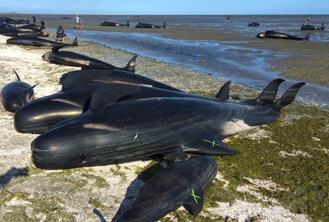 Ngeri, Banyak Paus Lumba-lumba Mati dengan Bungkus Deterjen hingga Odol di Perut (2)