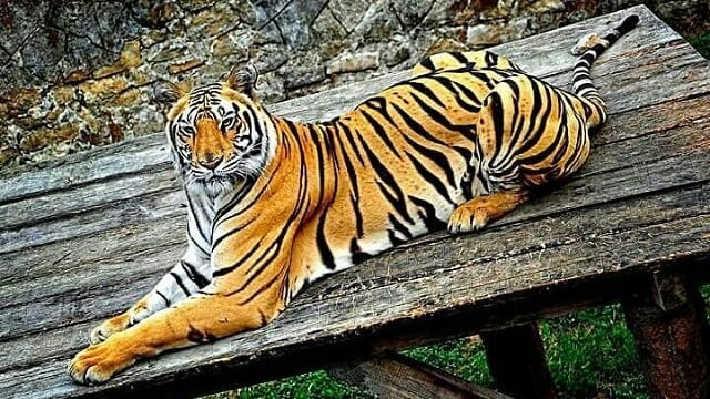78+ Gambar Warna Harimau Paling Hist