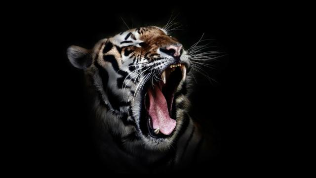 Harimau Lawan Singa, Siapa yang Menang? - kumparan com