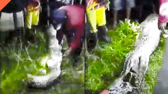 Kenapa Ular Piton di Sulawesi Tenggara Memangsa Manusia? (166409)