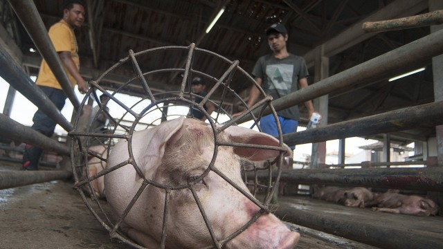 Foto Babi Di Potong Bakteri Mss Dan Acara Potong Babi Massal Di Bali Kumparan Com
