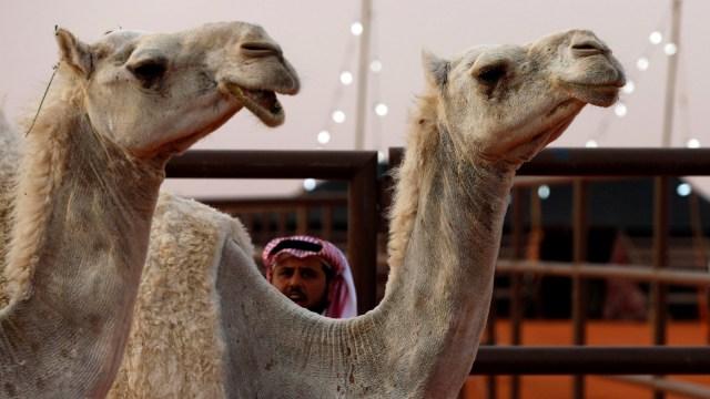 Unta di Riyadh, Arab Saudi