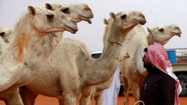 Sejumlah unta di Riyadh, Arab Saudi