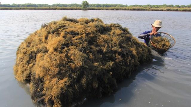 Alasan Pengusaha Rumput Laut Lebih Suka Ekspor Barang Mentah (736752)