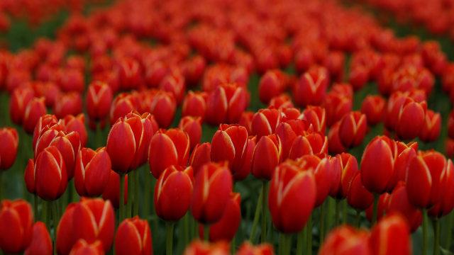 Yuk, Tiru! Cara Belanda Lindungi Bunga Tulip dari Selfie Wisatawan (27292)