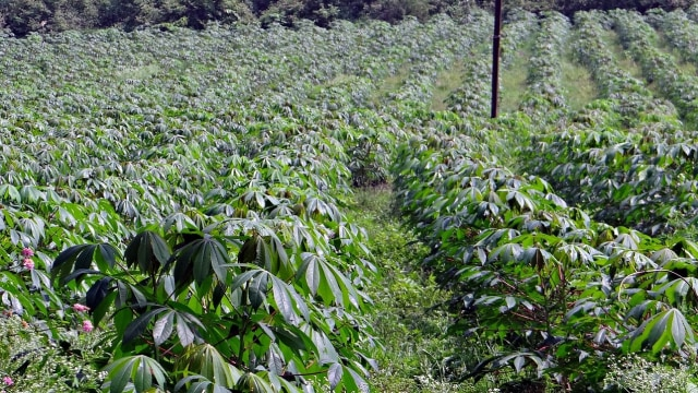 Prabowo Mau Tanam Singkong 60 Ribu Hektar, Ini Pengakuan yang Siapkan Lahan (12113)
