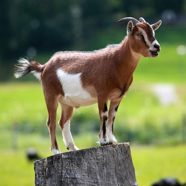 Hasil gambar untuk kambing jantan