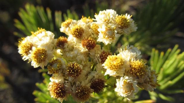 7 Fakta Tentang Bunga Edelweis Yang Tak Boleh Dipetik Kumparan Com