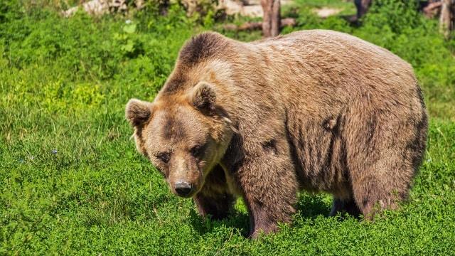 Seekor Beruang Berkeliling Kota dengan Sepeda Motor (1184589)