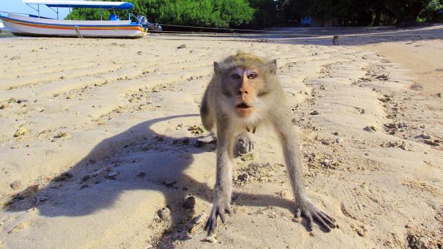 Tersangka Penggagalan Pelantikan Siapkan 8 Ekor Monyet untuk Dilepas (241552)