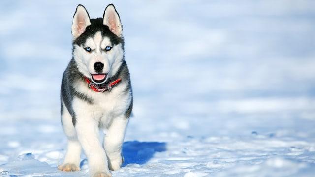 Dampak Kesehatan Bagi Anjing yang Ditinggal Lama di Mobil (476518)