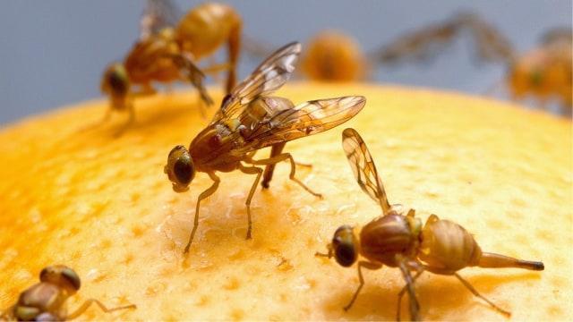Lalat Buah yang Meresahkan Petani Jeruk di Tanah Karo  (31155)