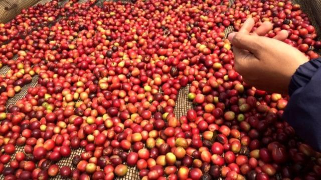 Perkebunan kopi di Gunung puntang Jawa Barat