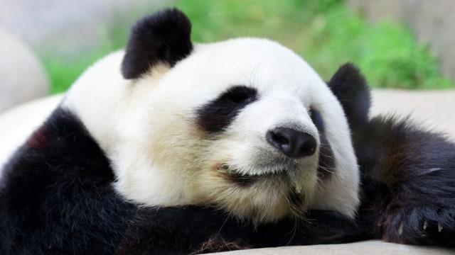 13 Fakta Soal Panda Beruang Tambun Yang Menggemaskan