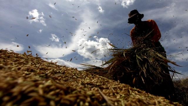 Petani merontokkan gabah, Pertanian