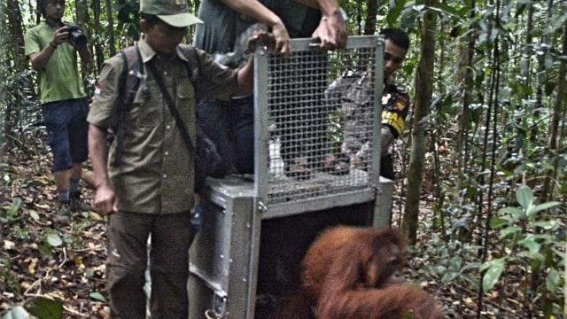 4 Orangutan Dilepasliarkan di Taman Nasional Bukit Baka Bukit Raya (483423)