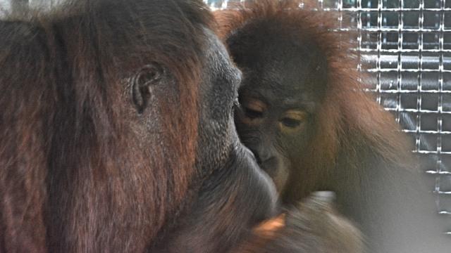 4 Orangutan Dilepasliarkan di Taman Nasional Bukit Baka Bukit Raya (483425)