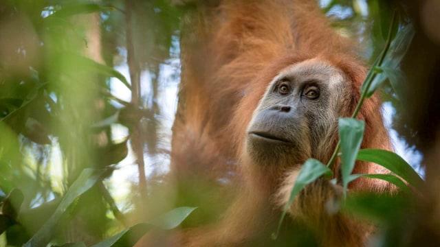4 Orangutan Dilepasliarkan di Taman Nasional Bukit Baka Bukit Raya (483424)