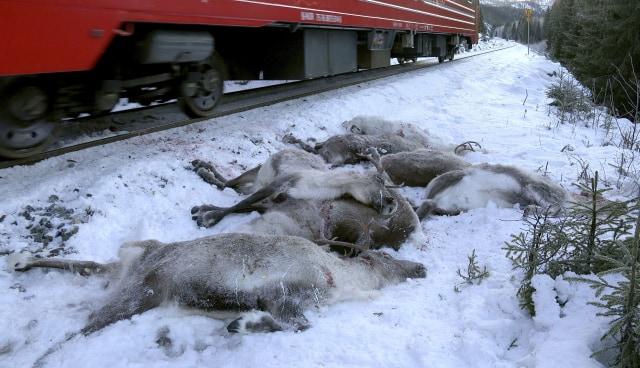 Kereta Barang Tabrak Mati 100 Rusa Kutub di Norwegia (350493)