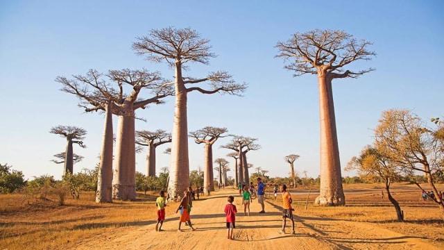 Menengok Pohon Purba di Lorong Baobab yang Jadi Ikon Madagaskar -  kumparan.com