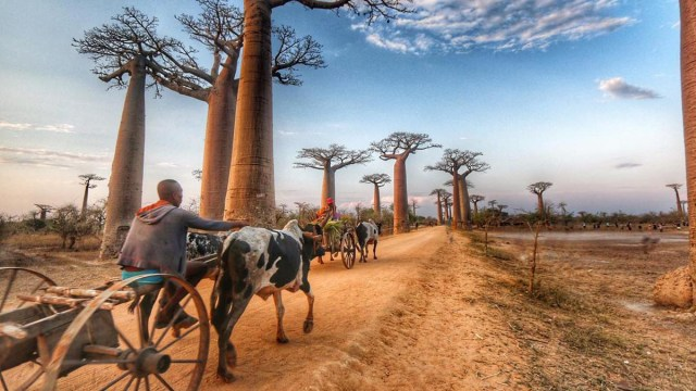 Avenue of Baobabs, Madagaskar