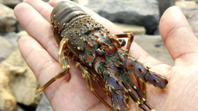 Menteri Trenggono: Saya Masih Meyakini Budidaya Lobster Akan Bagus (20027)