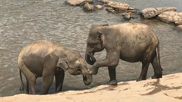 Bayi-bayi gajah di Pinnawala, Sri Lanka
