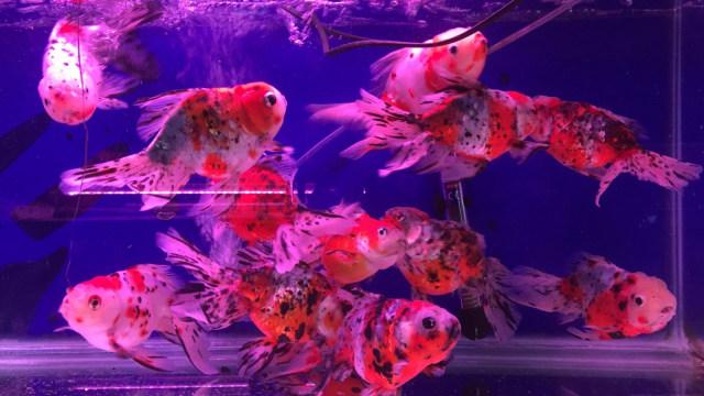 Ikan Koki di Pasar Ikan Jatinegara