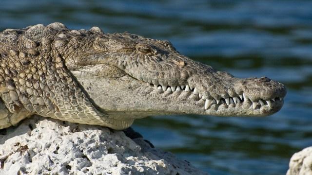 Penjelasan Peneliti Reptil LIPI soal Kemunculan Buaya di Ancol (786292)