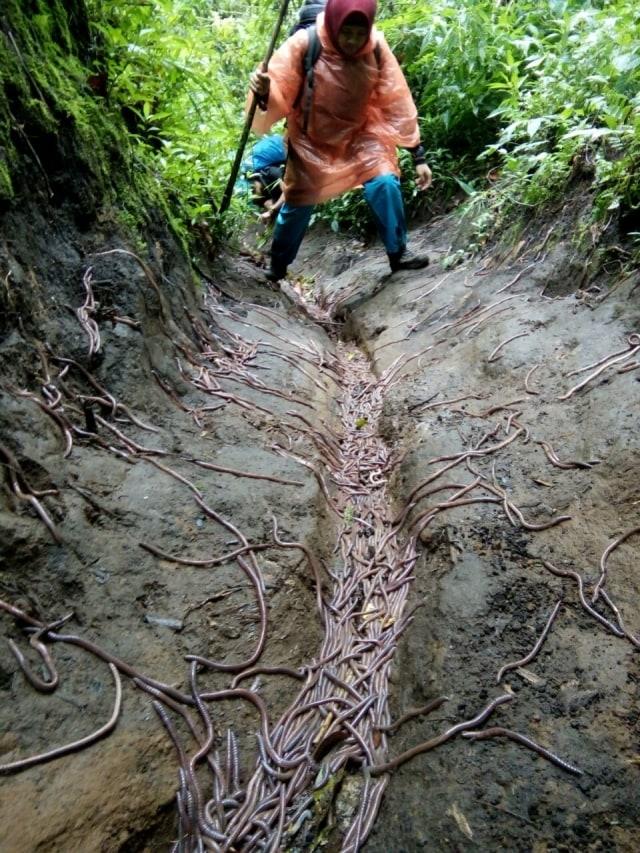 Fenomena Unik, Cacing Tanah Berserakan di Jalur Pendakian Argopuro (97335)