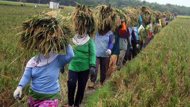 Buruh tani menggotong padi