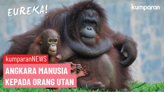 Pemburu Jadi Ancaman Utama Kepunahan Orang Utan di Kalimantan (497532)