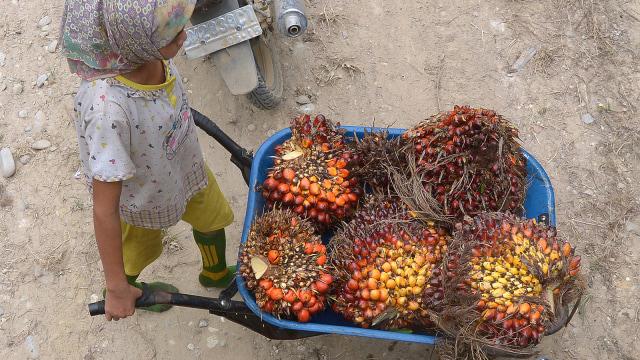 Pekerja membawa kelapa sawit